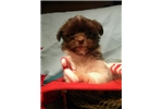 Picture of Nestle the Low-Shed Chocolate Maltipom