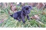 Picture of Cane Corso puppy