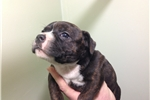 Picture of Beautiful brindle puppy with white chest