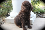 Picture of Moyen/Small Standard Poodle