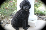 Moyen/Small Standard Poodle | Puppy at 12 weeks of age for sale