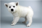 Picture of Chiquita-WWW.ELITEPUPPIES.COM (Q064418ELP)