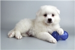 Picture of Kipper-WWW.ELITEPUPPIES.COM (Q013702ELP)