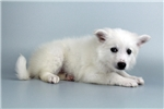 Picture of Zues-WWW.ELITEPUPPIES.COM (Q064415ELP)