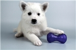 Picture of Shana-WWW.ELITEPUPPIES.COM (Q064414ELP)