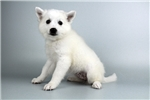 Picture of Mitsey-WWW.ELITEPUPPIES.COM (Q064416ELP)