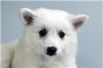 Picture of Cupcake-WWW.ELITEPUPPIES.COM (Q064417ELP)