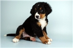 Picture of Licorice-WWW.ELITEPUPPIES.COM (Q141302ELP)