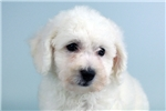 Picture of Bob-WWW.ELITEPUPPIES.COM (Q064360ELP)