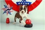 Boston Terrier for sale