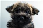 Picture of Piper-WWW.ELITEPUPPIES.COM (Q141344ELP)