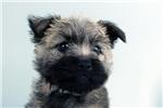 Picture of Moxy-WWW.ELITEPUPPIES.COM (Q141346ELP)