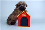 Cairn Terriers for sale