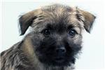 Picture of Annabeth-WWW.ELITEPUPPIES.COM (Q141347ELP)