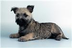 Picture of Xander-WWW.ELITEPUPPIES.COM (Q141343ELP)