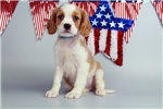 Picture of Chumley-WWW.ELITEPUPPIES.COM (Q014419ELP)