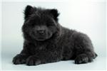 Picture of Domino-WWW.ELITEPUPPIES.COM (Q033361ELP)