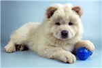 Picture of Carmelo-www.Elitepuppies.com-Q033425ELP