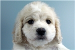 Picture of Prince-WWW.ELITEPUPPIES.COM (Q064142ELP)