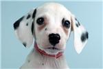 Picture of LUCY - WWW.ELITEPUPPIES.COM (Q033163ELP)