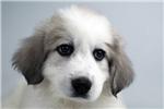 Picture of ABBY - WWW.ELITEPUPPIES.COM (Q063570ELP)