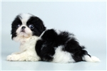 Picture of Shelby - WWW.ELITEPUPPIES.COM (Q063282ELP)