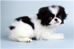 Picture of Ethan-www.Elitepuppies.com- Q064037VAL