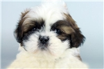 Picture of LOUIE -WWW.ELITEPUPPIES.COM (#Q140217)