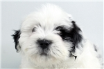 Picture of Rudy-WWW.ELITEPUPPIES.COM (Q140905ELP)