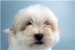 Picture of DAWSON - ELITEPUPPYS.COM - Q141145ELP