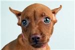 Picture of Zoey-WWW.ELITEPUPPIES.COM (Q064013ELP)
