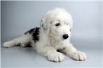 Picture of Lexi - WWW.ELITEPUPPIES.COM (Q012667ELP)