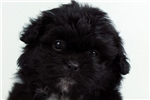 Picture of Paloma - ELITEPUPPIES.COM -Q033291ELP