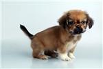 Picture of Gizmo - WWW.ELITEPUPPIES.COM (Q032764ELP)