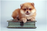 Pomeranian for sale