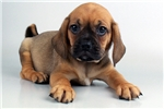 Picture of Puggle - WWW.ELITEPUPPIES.COM (Q032779ELP)
