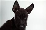 Picture of Lenny-WWW.ELITEPUPPIES.COM (Q014146ELP)