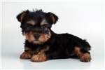Picture of Holly - WWW.ELITEPUPPIES.COM (Q062941ELP)