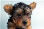 Picture of Roxy-WWW.ELITEPUPPIES.COM (Q064406ELP)