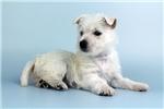 Picture of EVIE- ELITEPUPPIES.COM -Q141137ELP