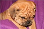 Picture of Big Handsome Brown w/ Blue Olde English Puppy