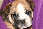 Picture of Tri-Color Female Olde English Bulldogge