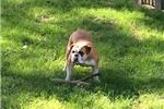 Picture of Female Olde English Bulldogge