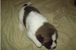 Picture of Male AKC Akita Puppy