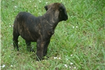 Picture of Bear - Beautiful Brindle Male Bullmastiff