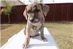Picture of Beautiful AKC Brindle