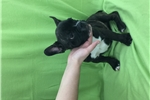 Picture of French Bulldog Boy #6