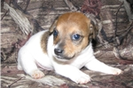 Picture of Short Jack Russell Male D