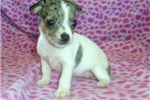 Picture of Jack/Rat Female 1 Blue Merle