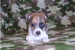 Picture of Jack/Rat Male 1 Red Merle